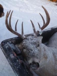 deer36